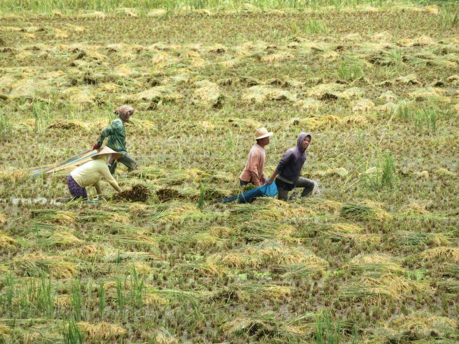 récolte du riz (2)