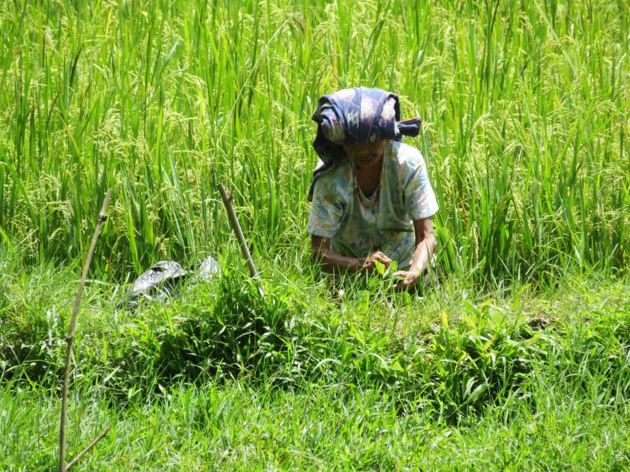 récolte du riz (4)