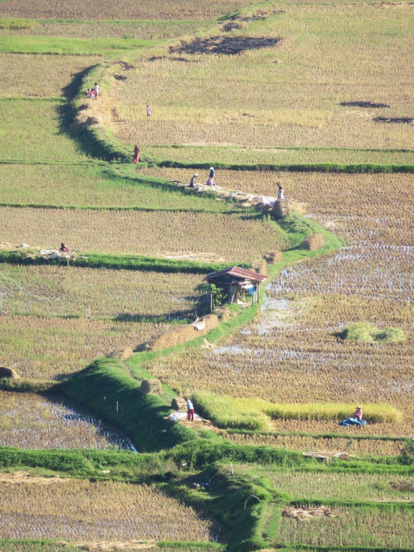 récolte du riz (6)