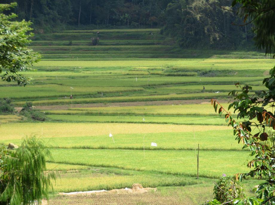 rizières (1)