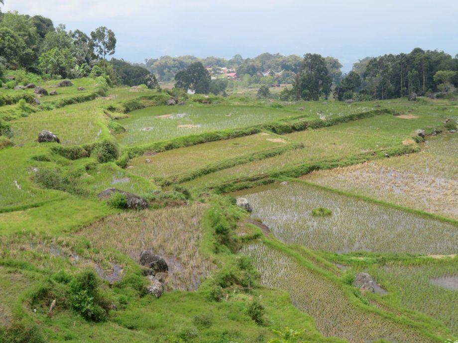rizières (6)