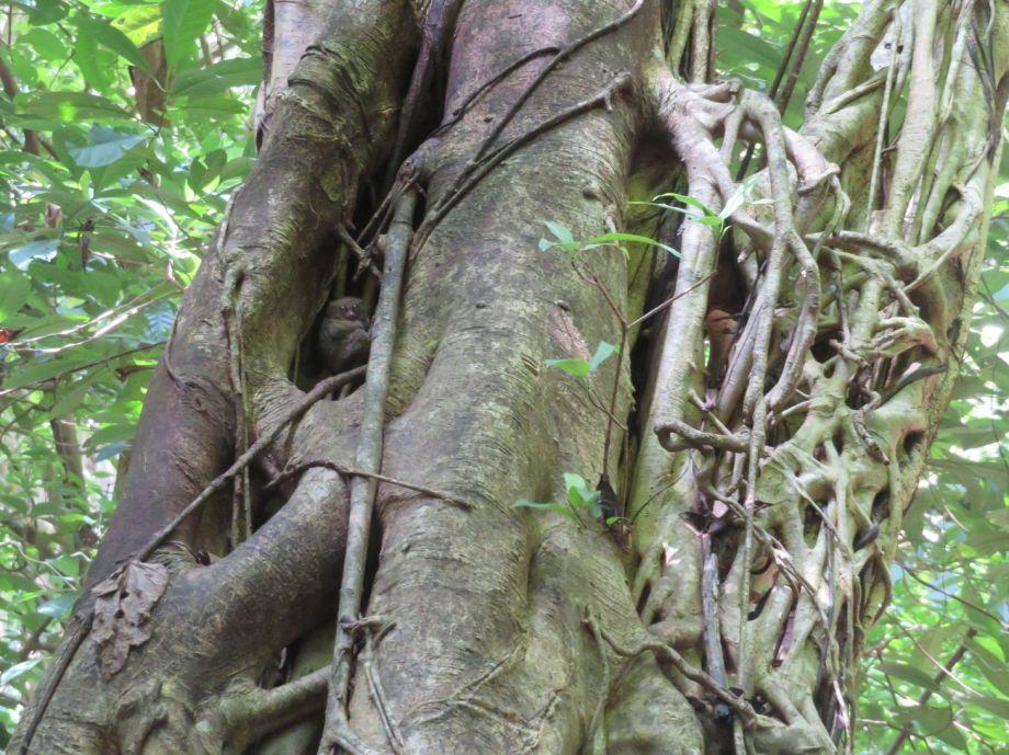tarsier (3)