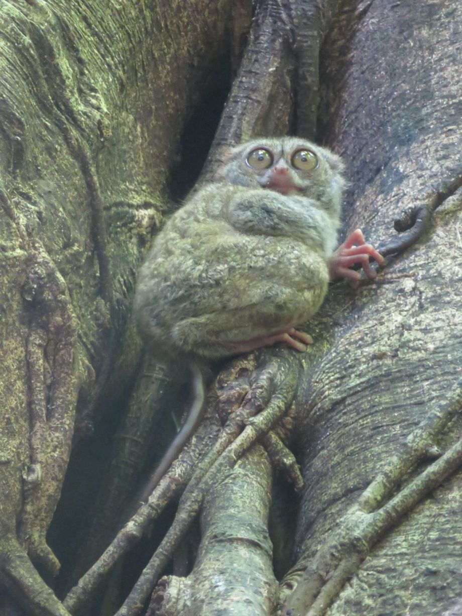 tarsier (5)
