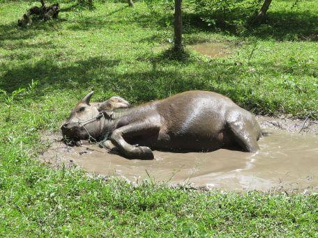 buffalo (3)