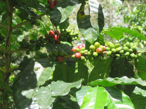 plantations de café (2)