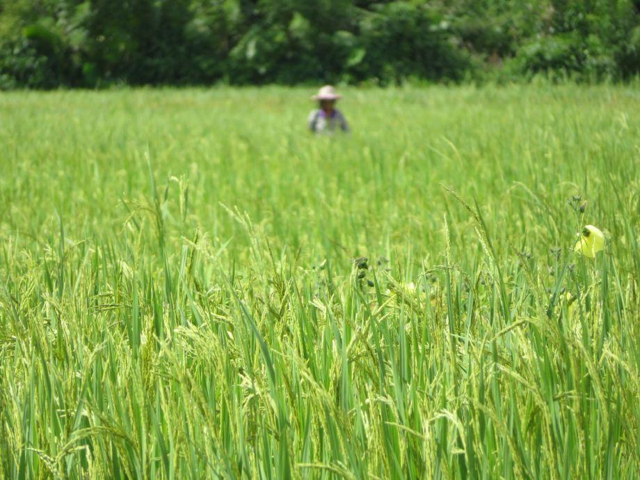 rizières (3)